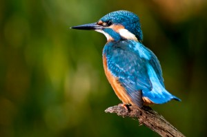 narrowboat cruise wildlife - kingfisher