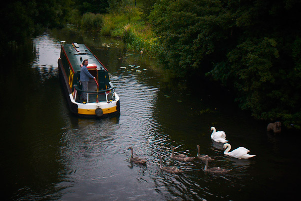swans-cambridge-waterways