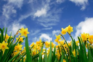 easter-boating-holiday-fenland-daffodils