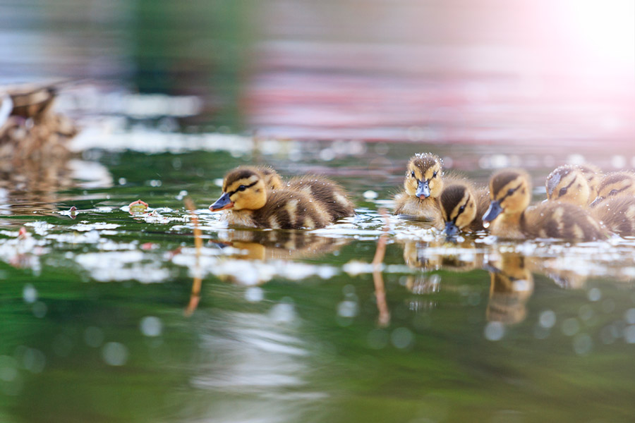 easter boating holiday ducklings