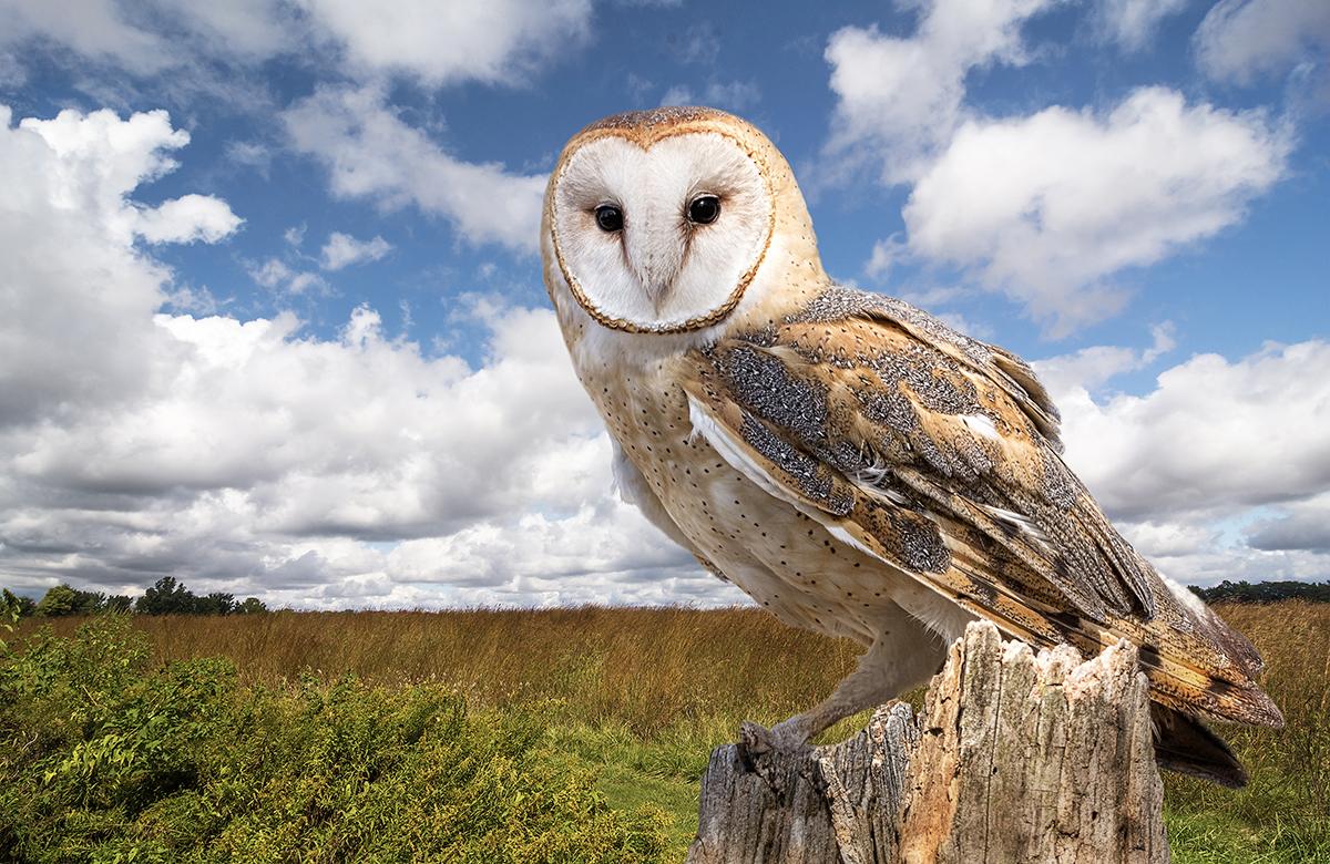barn owl wetlands fens